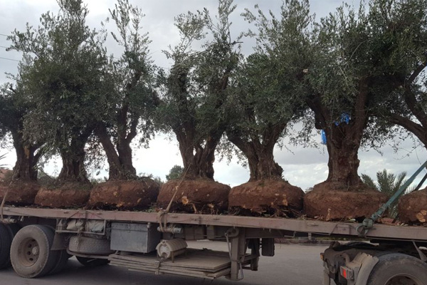 Development of an olive farm around Marrakech
