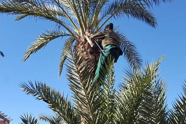 Pruning palm trees in Marrakech, and everywhere in Morocco